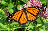 button: Monarch Butterfly Program